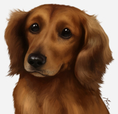 Dachshund Brown Long-Haired